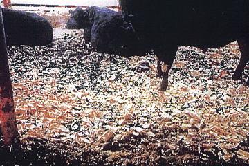 牛の敷料として使用。悪臭防止