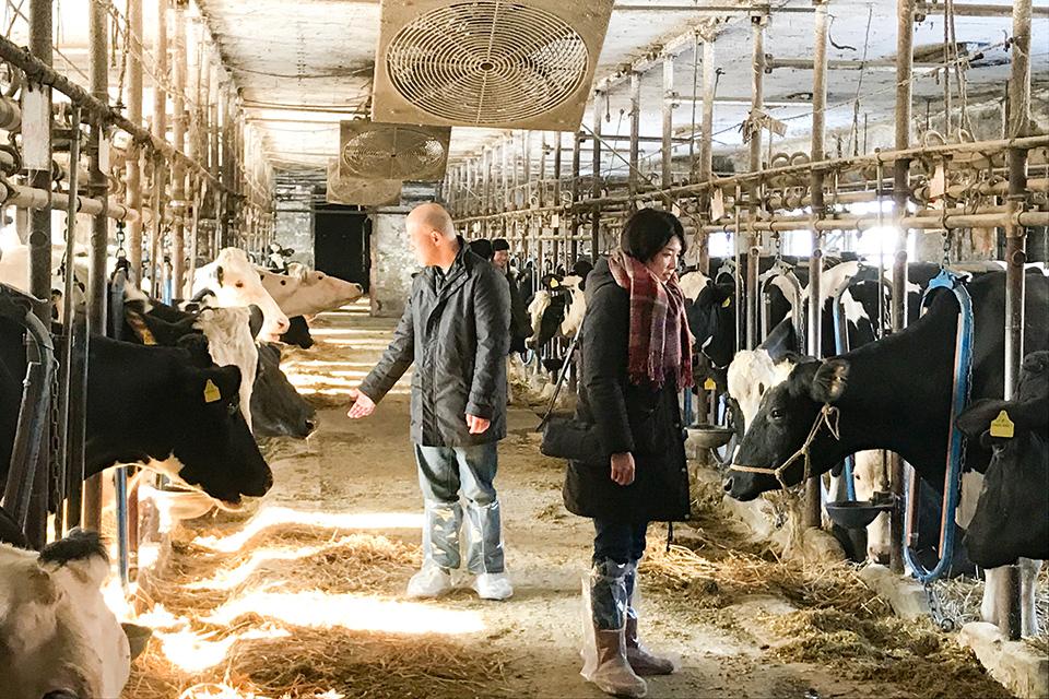 綺麗な牛舎で牛とふれあい